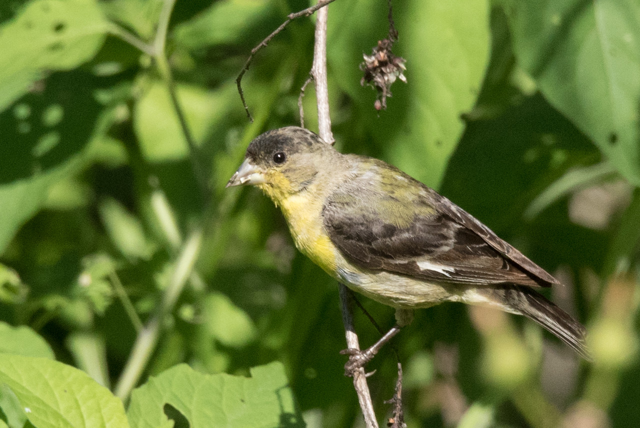 Lesser Goldfinch male foraging for seeds amongst low bushes