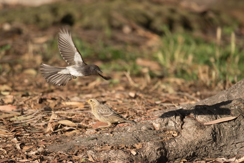 A Black Phoebe that appeared to be buzzing a Brown-headed Cowbird Chick.  The chick didn't react so the phoebe may have simply been chasing an insect.