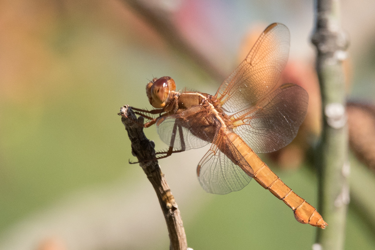 Female Neon Skimmer Dragonfly perching on a twig.