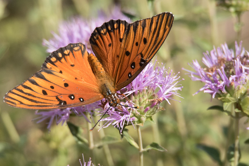 Gulf Fritillary Butterfly feeding from a flower in the Sibly Nature Center.