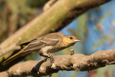 Juvenile Hooded Oriole perching in the branches of an Eucalyptus tree.
