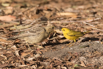 The Yellow Warbler on the ground with one of the three Brown-headed Cowbird chicks.  This shot clearly shows the disparaty in size.