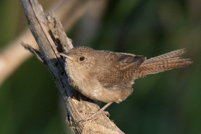 House Wren that was chiding me from a low branch.