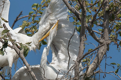 Great Egret feeding its chick.