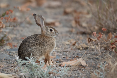 Desert Cottontail sitting in a clearing amongst chapparal