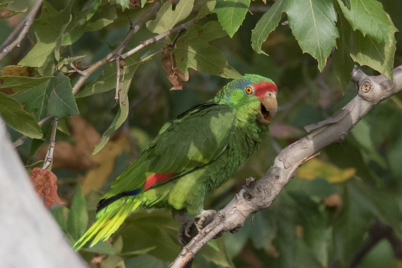 Red-crowned Parrot perching in a sycamore tree.