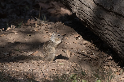 California Ground Squirrel munching on a tidbit at the entrance to its burrows.