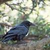 Common Raven perching in live oak tree.