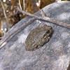 Canyon Tree Frog sitting on a rock next to Santiago Canyon Creek.
