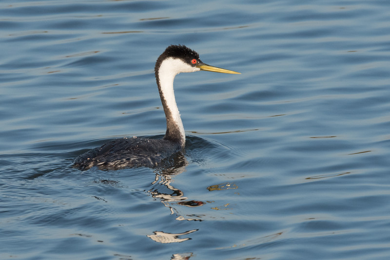 Western Grebe swimming in Pond 1.