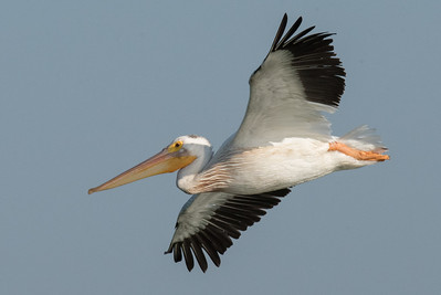 An American White Pelican coming in for a landing on pond 2.