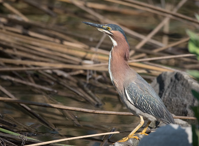 Green Heron standing erect on the side of Pond B