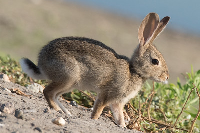 Desert (or Audubon's) Cottontail on the embankment of Pond 2.