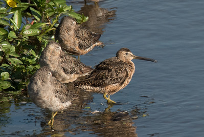 Long-billed Dowitchers resting in the river.