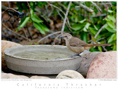 A young California Thrasher at the new Drip at CNM.
