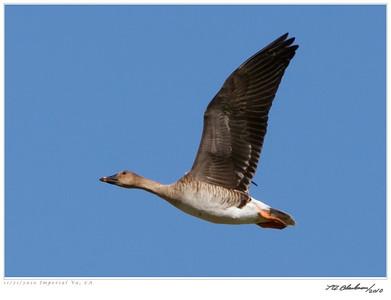 Bean Goose