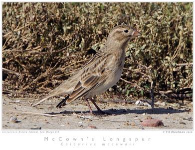 Longspur_McCown's TAB10MK4-32757