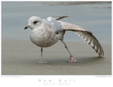 Mew Gull 1st Winter
