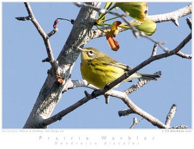 Warbler_Prairie TAB10MK4-30053