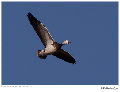 Goose_Blue TAB10MK4-33147