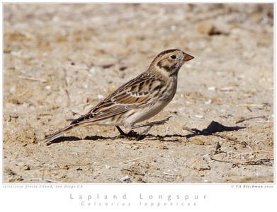 Longspur_Lapland TAB10MK4-34265