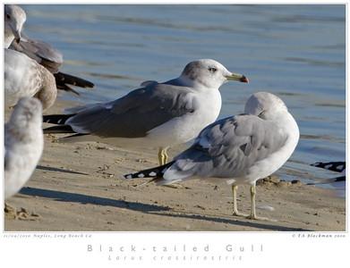 Gull_Black-tailed TAB10MK4-32936
