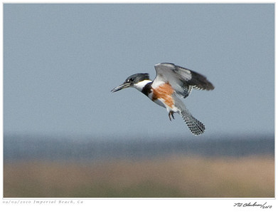 Kingfisher_Belted TAB10MK4-28892
