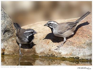 Sparrow_Black-throated TAB10MK4-29733