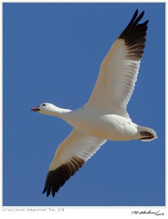 Goose_Snow TAB10MK4-34398