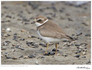 Plover_Semipalmated TAB10MK4-28966