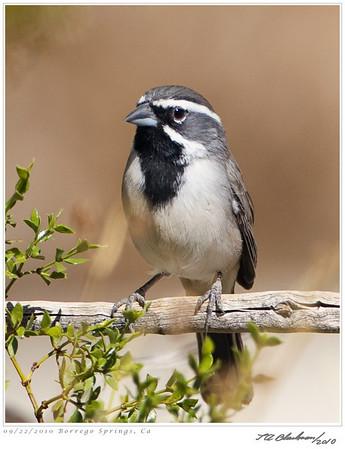 Sparrow_Black-throated TAB10MK4-29662