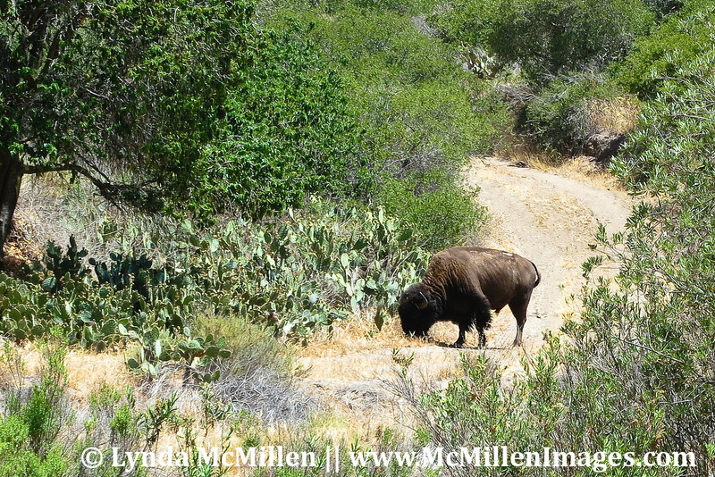 Catalina's Bison cows are now on birth control to manage herd size.