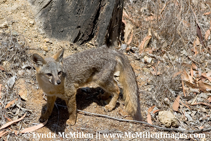 Catalina's Island Fox, much smaller than its North American kin.