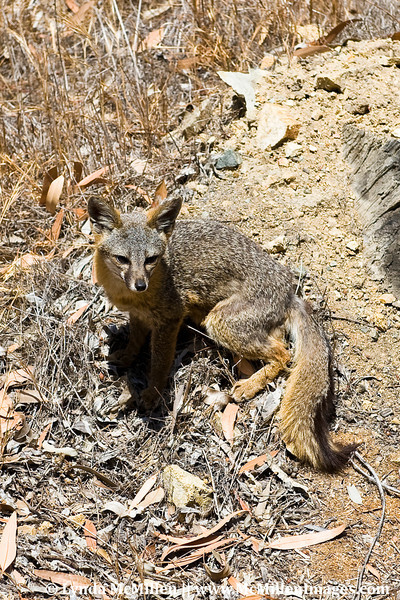 Catalina's Channel Islands Fox.