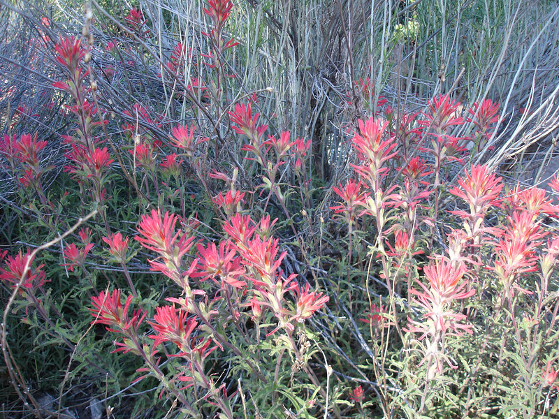 Indian Paint Brush.<br /> <br /> San Gorgonio Wilderness : South Fork : Dry Lake : San Gorgonio Mountain : Dollar Lake