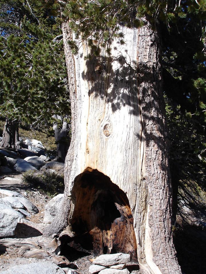 Stalwart Tree