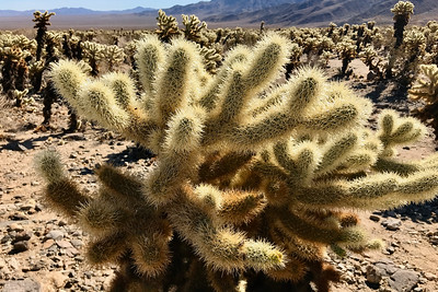 Cholla in JTNP