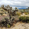 Cholla and Purple Sage