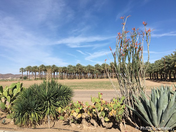 Blooming Ocotillo at Imperial Date Farms