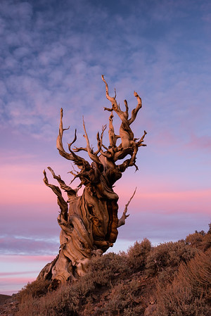 ancient bristlecone pine forest; inyo national forest; schulman grove; sunset; trees; white mountains Waited for quite some time for the pinks to sohw up behind this tree.