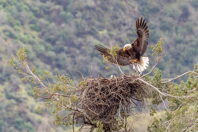A bald eagle and her chick, San Gabriel Mountains