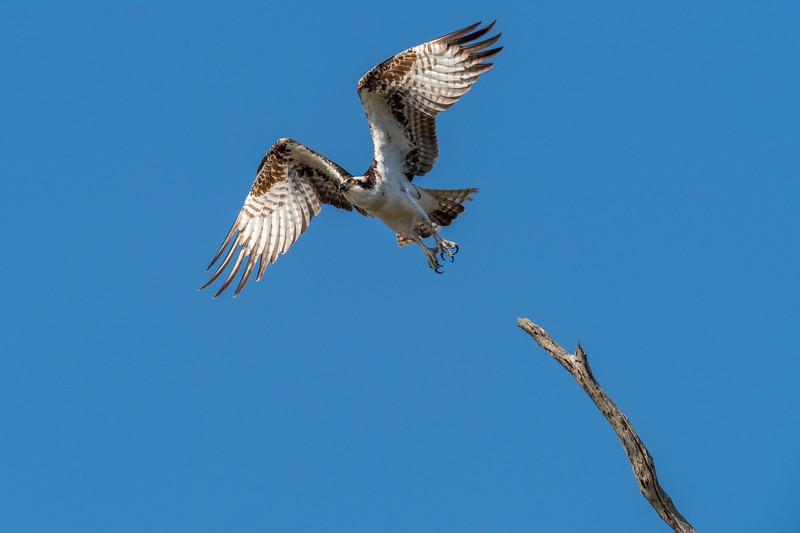 Bolsa Chica Ecological Reserve, Osprey (Pandion haliaetus)