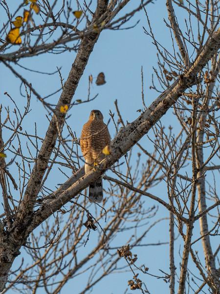 Sepulveda Basin Wildlife Reserve, Coopers Hawk (Accipiter cooperi)