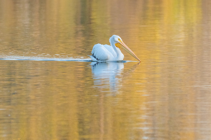 Sepulveda Basin Wildlife Reserve, American White Pelican (Pelecanus erythrorhynchos)