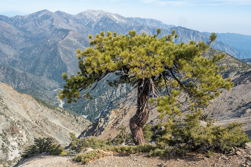 I hiked up the relatively easy 4-mile trail from Vincent's Gap to the summit of Mount Baden-Powell. After fighting off a cold the past few days, I needed to get out in the mountains, but still wasn't feeling too great. I decided to take it easy and walk up very, very slowly, but without stopping. Less then a quarter mile from the summit, this stunted jeffrey pine stopped me in my tracks. The tree was too pretty to not spend a at least a few minutes photographing and admiring it before moving on. I love conifers, and a beautifuly gnarled jeffrey pine, growing in a rather unlikely spot on such a steep slope, backed by the highest peak in the San Gabrield Mountains was too good to pass up.