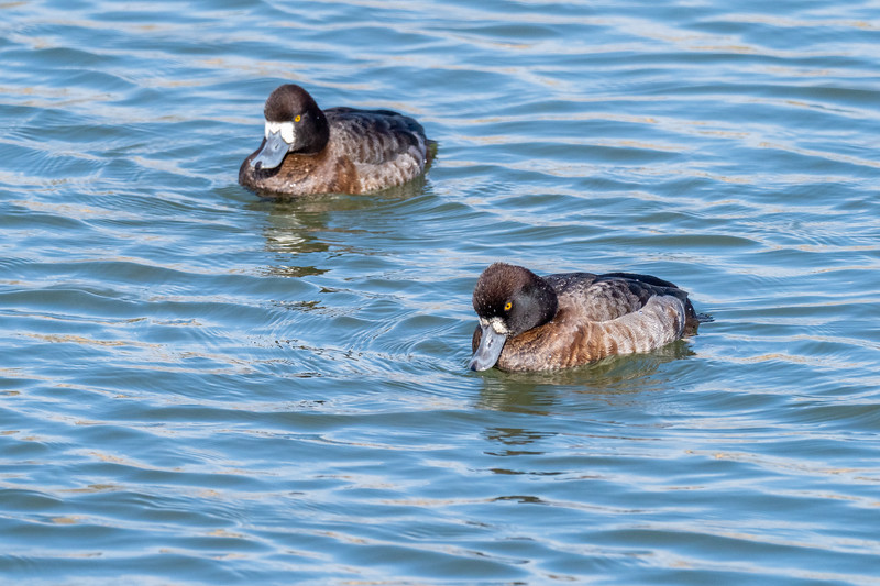 Bolsa Chica Ecological Reserve, Lesser Scaup (Aythya affinis)