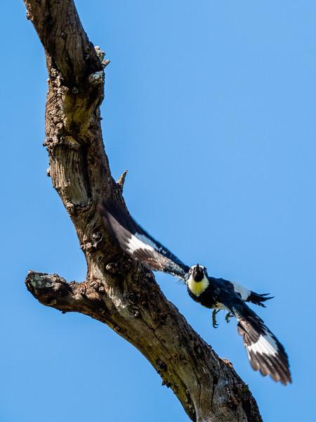 Acorn Woodpecker, Lake Los Carneros Park