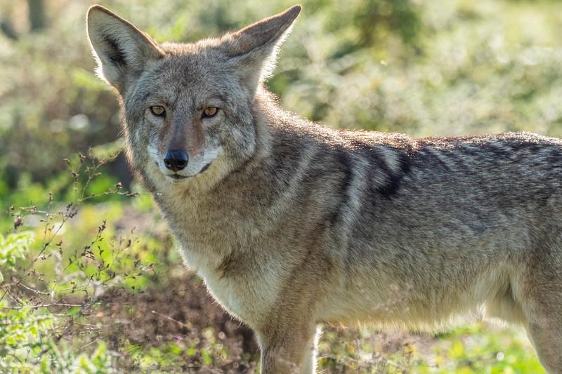Bolsa Chica Ecological Reserve, Coyote (Canis latrans)