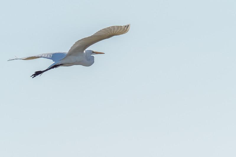 Bolsa Chica Ecological Reserve, Great Egret (Ardea alba)