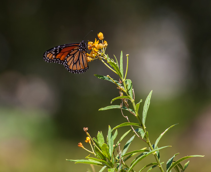 All you need is Milkweed to have these beautiful creatures flying around your yard.  Since Milkweed is a host plant, you will also be raising them to add to their low populations numbers due to the drought.